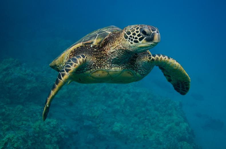 Green Sea Turtle in XiaoLiuQiu