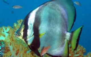 Orbicular batfish