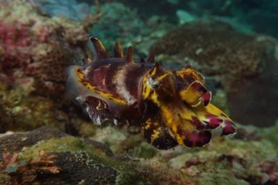 flamboyant cuttlefish taiwan
